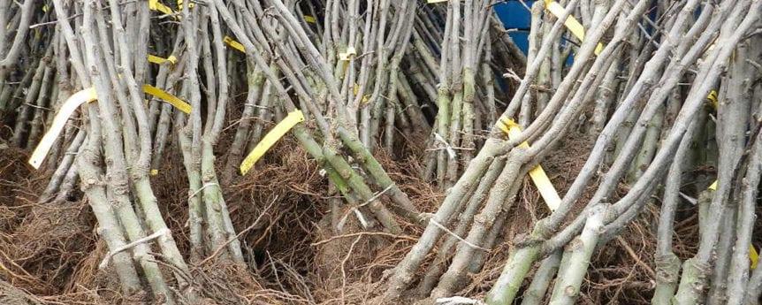 Rodney male cider trees somerset